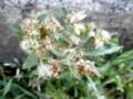 ウラジロチチコグサ