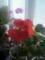 赤いゼラニウム