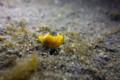 DSC-RX100 水中写真: 大瀬崎湾内 コミドリリュウグウウミウシ