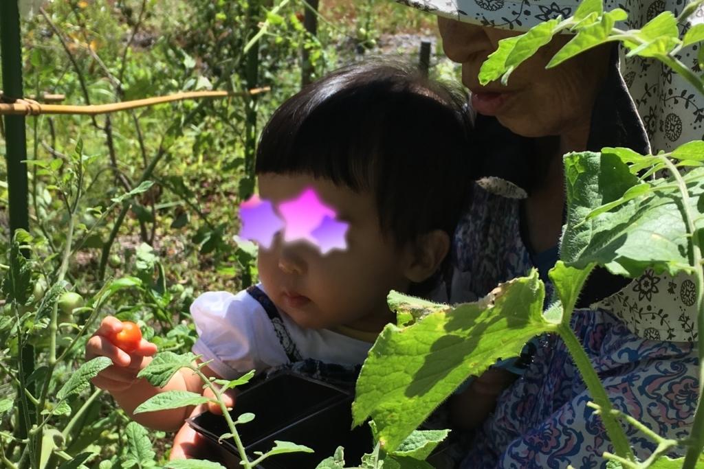 おばあちゃんに抱っこされて初めてのトマト収穫体験