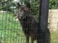 旭山動物園/オオカミ