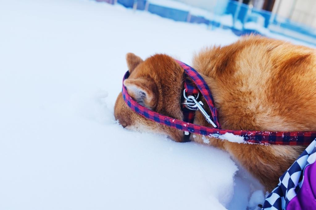 雪に顔を埋める柴犬