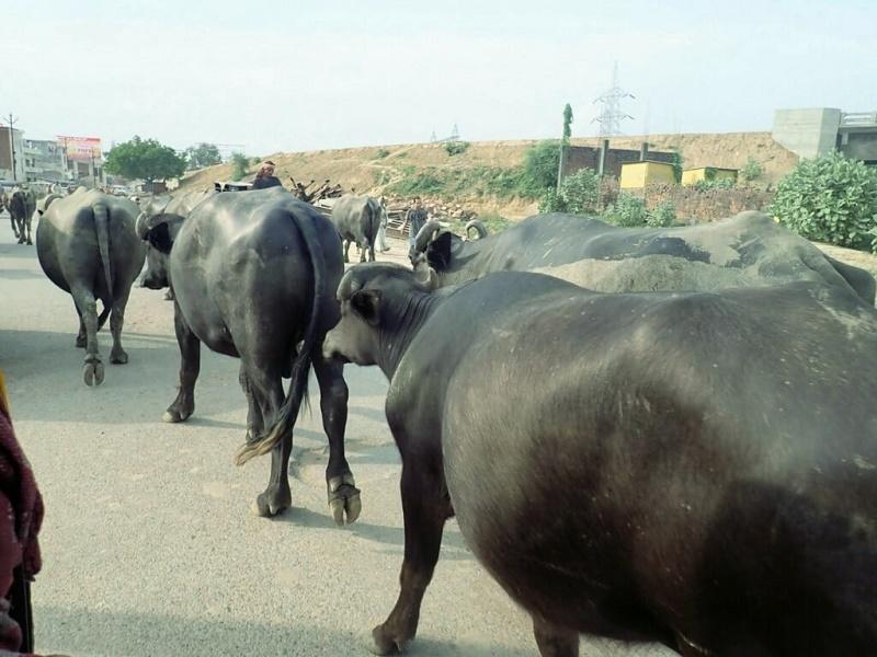 牛で埋め尽くされた道路