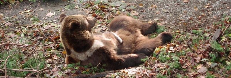 bear-relax