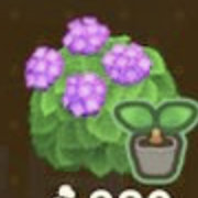 ピンクの紫陽花の苗