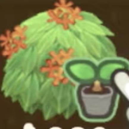 オレンジ金木犀の苗