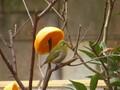 鳥 メジロ