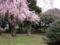 東京国立博物館庭園の桜