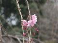 ホテルニューオータニの桜