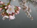 赤坂見附側のお堀の桜