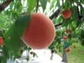 [Life]狩れ、桃を。
