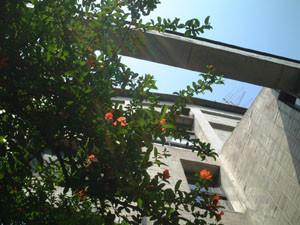 能楽研究所と石榴の花