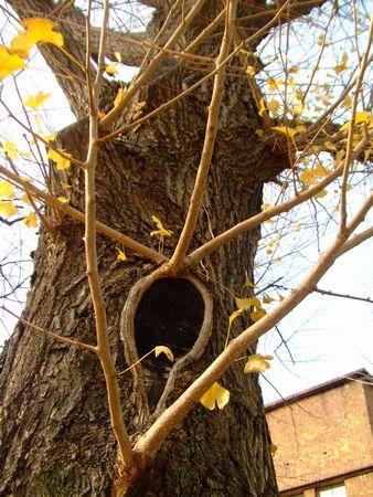 駒場東大前にて 喋り出しそうな銀杏の木