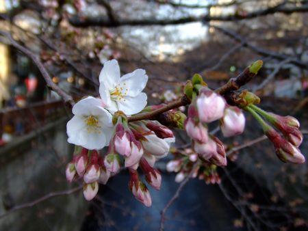 中目黒にて − 目黒川の桜