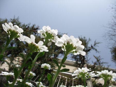 名称不明の白い花