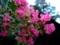 薬師池公園にて − 百日紅