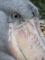 上野動物園にて - ハシビロコウ