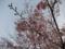箱根にて-河津桜