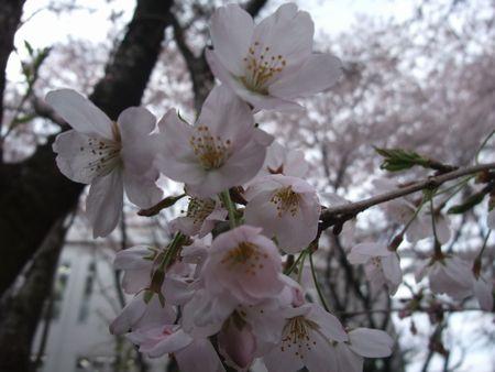 花見 2009