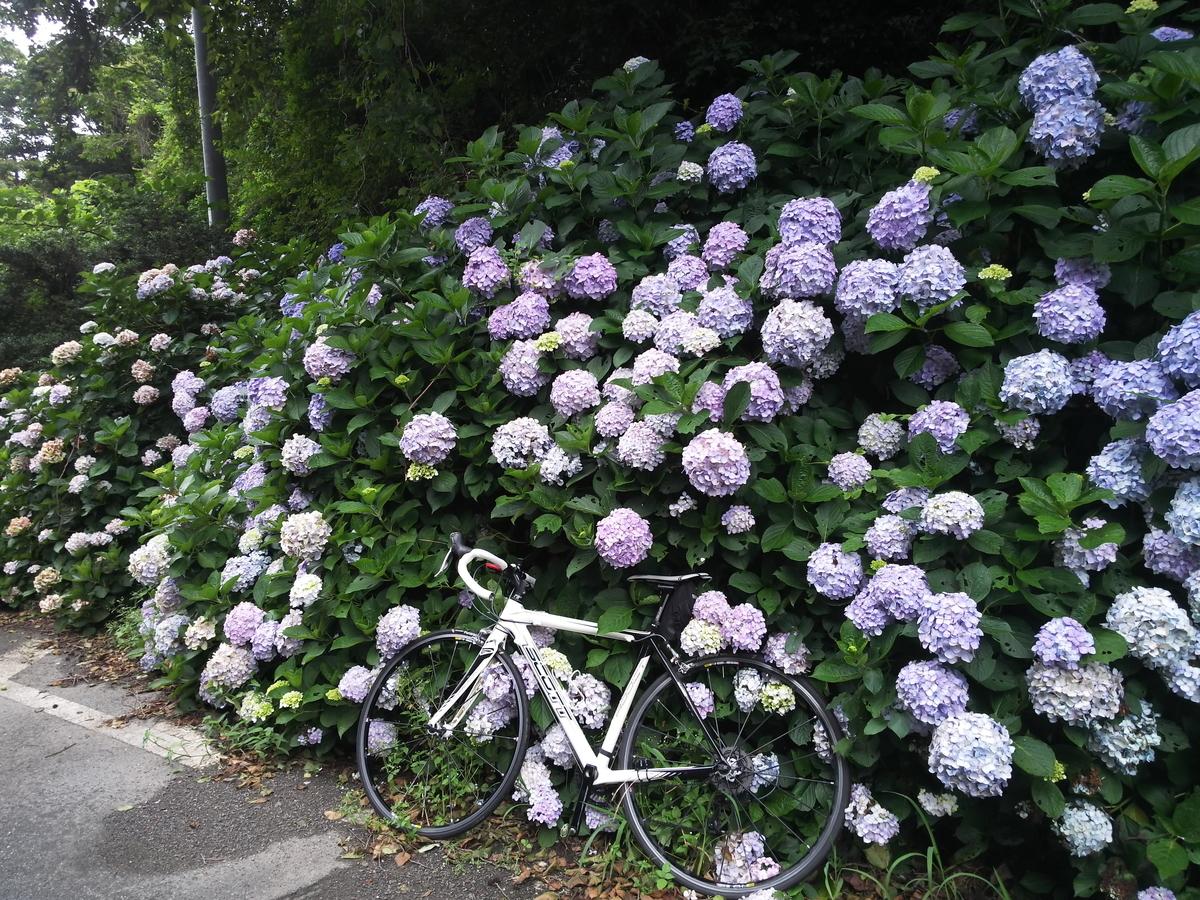 麓の街ではもう盛りを越えていますが桑谷山ではまだまだ紫陽花が見頃
