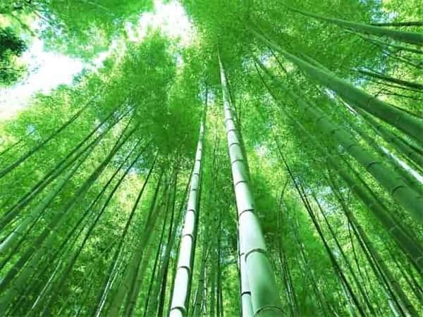 竹林に日光が差し込む様子