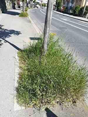 街路樹の足元に雑草がぼうぼうに生えている