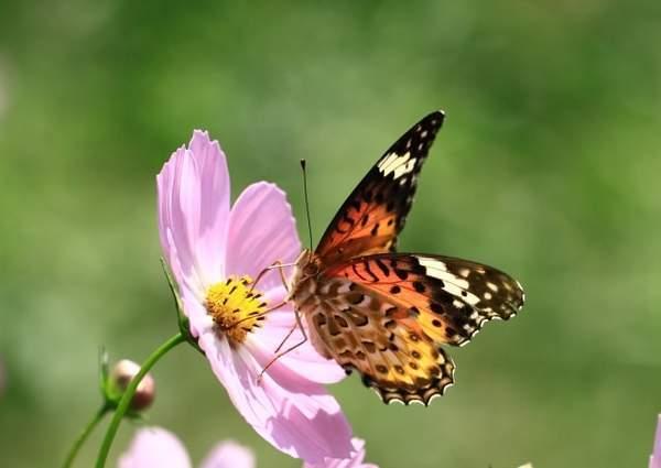 ピンクの花の蜜を吸う小さなオレンジ色のちょうちょ