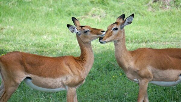 鹿が2頭、向かい合って鼻と鼻をこすりあわせている写真。
