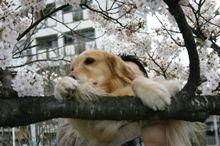 2007.3.31桜とアポロ