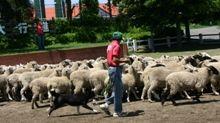 2007.5.26ボーダーコリーと羊の群れ