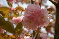 2008.4.23八重桜1