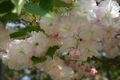 2008.4.23八重桜2