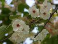 2008.4.23八重桜3