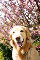 2008.4.23八重桜とアポロ