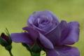 2008.11.23紫のバラ