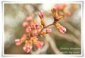 2010.3.27桜のつぼみ