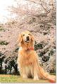 2010.4.4桜5