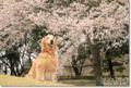 2010.4.4桜3