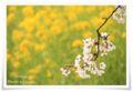 2010.4.9桜と菜の花