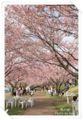 2010.4.17思川桜2