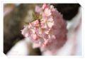 2010.4.17思川桜1