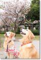 2010.4.26八重桜&詩音&アポロ2