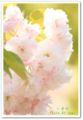 2010.5.2八重桜