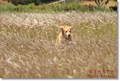 2010.5.9金色の草原2