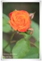 2010.6.5そら家の薔薇2