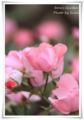 2010.6.5そら家の薔薇1
