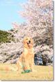 2011.4.12桜3