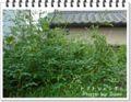 2011.8.25トマトのジャングル