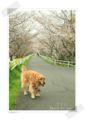 2013.3.24桜のトンネル1