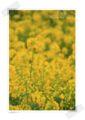 2013.3.24菜の花